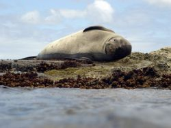 Hawaiian Monk Seal - always a speacial sighting. I've see... by Glenn Poulain 